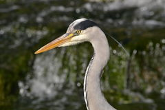 Great blue heron close up Stock Images