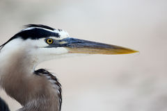 Great blue heron close up head shot Stock Photo