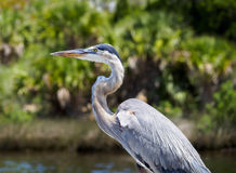 Great Blue Heron Close Up. Close up of the Great Blue Heron`s Body Royalty Free Stock Photos