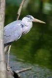 Great blue heron close up Stock Image