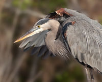 Great Blue Heron Closeup Royalty Free Stock Images