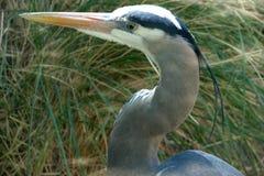 great blue heron closeup Stock Image