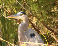 Great blue heron. Closeup as it watches the river from the shore Royalty Free Stock Photos