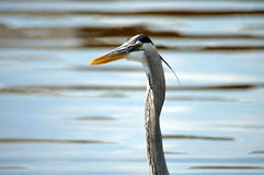 Great Blue Heron. Closeup of a large great blue heron with long neck and beak stock photo