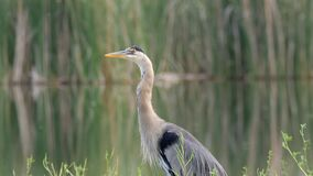 Great Blue Heron Closeup Looking Intensely