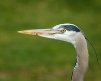 Great Blue Heron Closeup. Closeup profile shot of a Great Blue Heron, diffuse green background, gopher blood on its beak stock photo