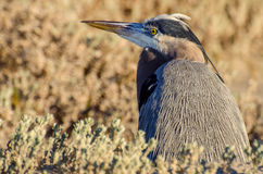 Great blue heron closeup Royalty Free Stock Photography