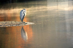 Great blue heron -colorful autum stock image