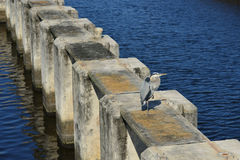 Great Blue Heron On Concrete Piling. A great blue heron stands on one foot on a concrete piling in southern Florida royalty free stock photography