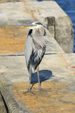 Great Blue Heron On Concrete Piling. A great blue heron stands on a concrete piling in southern Florida royalty free stock photo