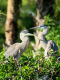 Great Blue Heron couple Stock Images