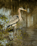 Great Blue Heron in creek at the Sacramento National Wildlife Refuge Stock Photos