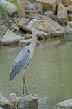Great Blue Heron. A great blue heron, dark form Stock Photography