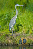 Great Blue Heron with Diamondback Terrapins Royalty Free Stock Images