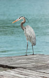 Great Blue Heron on a dock Stock Photos