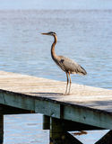 Great Blue Heron on dock Stock Images