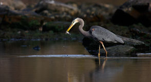 Great Blue Heron in Dramatic Light caught fish Royalty Free Stock Photo
