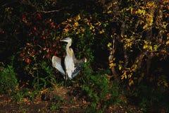 Great Blue Heron drying wings at Flowing Springs. Saskatchewan Royalty Free Stock Photography