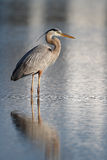 Great Blue Heron - Early Morning Stock Photography
