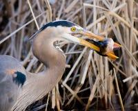 Great Blue Heron Eating Fish Royalty Free Stock Photos