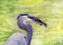 Great Blue Heron eating a fish Royalty Free Stock Images