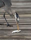 Great Blue Heron Eating Fish Stock Photos