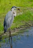 Great blue heron eating fish Stock Photos
