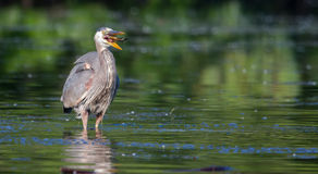 Great Blue Heron eating a fish in soft focus Stock Image