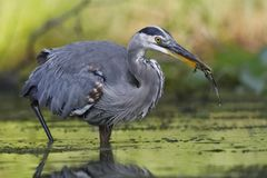 Great Blue Heron eating a green frog royalty free stock photography