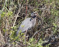 Great Blue Heron Eating a Fish royalty free stock image