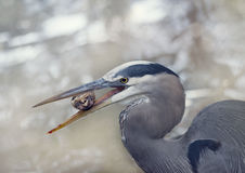 Great Blue Heron eating a small turtle Stock Photo