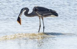 Great blue heron eating lunch stock images
