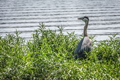 Great Blue Heron on Edge of Lake Stock Photo