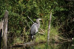 A great blue heron on the edge of a pond royalty free stock image