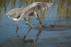 Great Blue Heron with eel Stock Photography