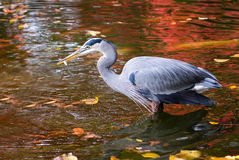 Great Blue Heron Enjoying a Fish Meal Royalty Free Stock Photo