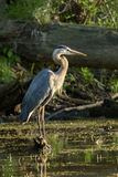 Great Blue Heron in the Evening Sun Stock Images