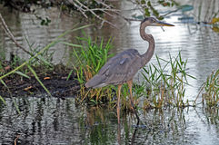 Great Blue Heron Everglades. Young Great Blue Heron wading in Everglades stock photo