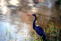 Great Blue Heron- The Everglades Stock Photos