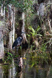 Great Blue Heron in the Everglades Stock Images