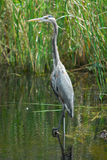 Great Blue Heron in Everglades Nationa lPark Royalty Free Stock Image