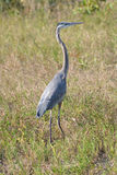 Great Blue Heron in Everglades National Park. Great blue heron hunts in a field in Everglades National Park stock photo