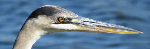 Great Blue Heron - Eye Details Stock Image