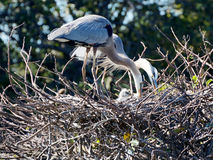 Great Blue Heron Family in Nest Stock Images