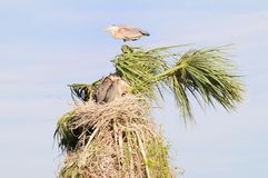Great Blue Heron Family Portrait Stock Photo