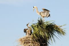 Great Blue Heron Family Portrait Stock Photos