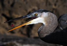 Great Blue Heron feeding Royalty Free Stock Photos