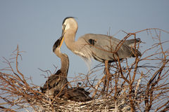 Great Blue Heron Feeding Babies Royalty Free Stock Images