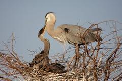 Great Blue Heron Feeding Babies Royalty Free Stock Images