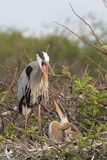 Great Blue Heron Feeding Babies. Great Blue Heron Ardea Herodias feeding her hungry babies in the Florida Everglades stock images